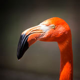 American flamingo portrait Royalty Free Stock Photo