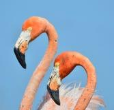 American Flamingo. Stock Image