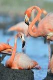 American Flamingo. Stock Photography
