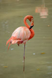 American Flamingo Stock Images