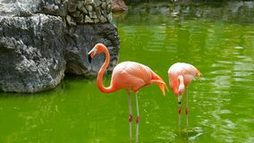 American flamingo standing in the water royalty free stock photography