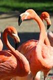 American Flamingos. Three American Flamingos (Phoenicopterus ruber ruber). Head and body Royalty Free Stock Photo