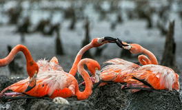 American Flamingos or Caribbean flamingos ( Phoenicopterus ruber ruber).  Colony of Great Flamingo the on nests. Stock Image
