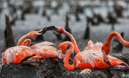 American Flamingos or Caribbean flamingos ( Phoenicopterus ruber ruber).  Colony of Great Flamingo the on nests. Stock Photo