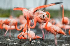 American Flamingos or Caribbean flamingos ( Phoenicopterus ruber ruber). Colony of Great Flamingo the on nests. Royalty Free Stock Image