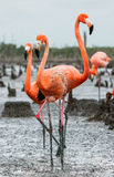 American Flamingos or Caribbean flamingos ( Phoenicopterus ruber ruber). Colony of Great Flamingo the on nests. Royalty Free Stock Photo