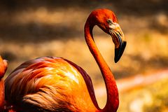 American Flamingos In Thai Zoo Royalty Free Stock Photography