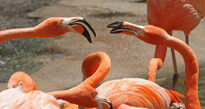 American Flamingos Royalty Free Stock Photography