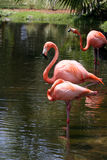 American Flamingos (Phoenicopterus  Ruber) Stock Photo