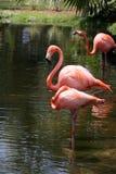American Flamingos (Phoenicopterus  Ruber). Three Flamingos wading in a tropical pool Stock Photo