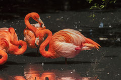 American flamingos - Phoenicopterus ruber. American red flamingos mirror in a pond stock image