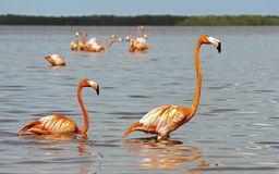 American Flamingos (Phoenicopterus ruber) Royalty Free Stock Photography