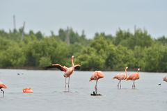 American Flamingos ( Phoenicopterus ruber ) Royalty Free Stock Image