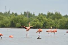 American Flamingos ( Phoenicopterus ruber ) Royalty Free Stock Image