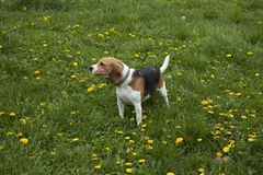 American foxhound dog Royalty Free Stock Photo