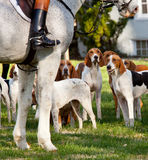 American Foxhounds before a hunt. Dogs of the Middleburg Hunt after traditional December parade down main street of Middleburg, Virginia snapping at the legs of Stock Image