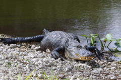 american för 13 alligator Royaltyfri Foto