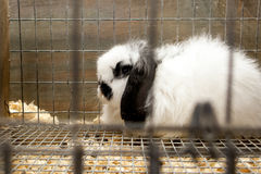 American Fuzzy Lop rabbit. In a cage Stock Image