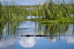 American gator on lake w/sky reflection stock image
