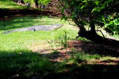 American gator in South Florida Royalty Free Stock Image