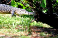 American gator walking in South Florida Royalty Free Stock Photos