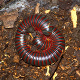 American Giant Millipede (Narceus americanus) Stock Photography