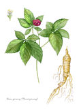 American Ginseng Royalty Free Stock Photography