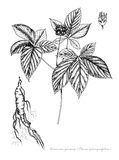 American ginseng Royalty Free Stock Images