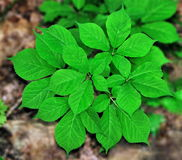 American Ginseng (Panax quinquefolius) Stock Photography