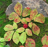 American Ginseng plant in autumn Royalty Free Stock Photography