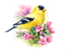 American Gold Finch Bird on the branch with flowers Watercolor Fall Illustration Hand Painted Royalty Free Stock Photo