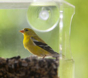American Gold Finch Stock Photo