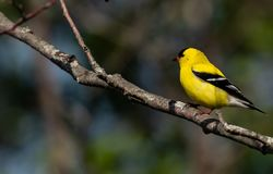 American Gold Finch Male breeding colors Royalty Free Stock Photography