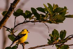 American Gold Finch Royalty Free Stock Photos
