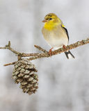 American Gold Finch. An American gold finch perched after a snow storm in North Carolina Stock Photos