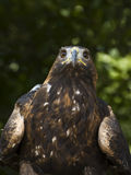 American golden eagle Royalty Free Stock Photography