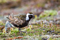 American Golden Plover Royalty Free Stock Image