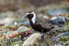 American Golden Plover Stock Photo