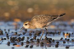 American Golden-Plover (Pluvialis dominica) Stock Photo