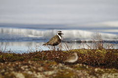 American golden plover in spring colours Stock Photography