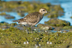 American Golden Plover Royalty Free Stock Photos