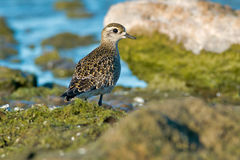 American Golden Plover Royalty Free Stock Photography
