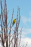 American Goldfinch. (spinus tristis) perched in Linden tree Stock Images
