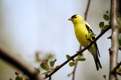 American Goldfinch. An American Goldfinch is perched on a branch Stock Images