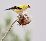 American Goldfinch. (Spinus tristis), also known as the Eastern Goldfinch and Wild Canary. This photo shows the breeding male Royalty Free Stock Photo