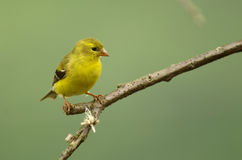 American Goldfinch. Perching on a branch stock photography