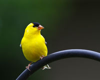 American Goldfinch. Perched near a feeder Royalty Free Stock Photography