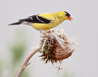 Free American Goldfinch Royalty Free Stock Photos - 17197798
