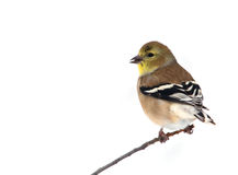 American Goldfinch. Photograph of an American Goldfinch perched on a branch in a winter garden with white-out conditions as a background stock image