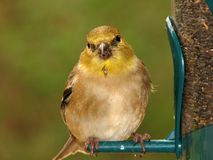 American goldfinch. In winter plumage Stock Photo